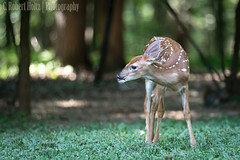 Whitetail fawn (rob.holtz) Tags: deer fawn whitetail maryland