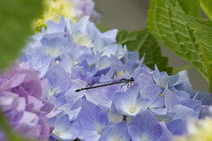 Blue on Blue (brucetopher) Tags: blue hydrangea flower bug insect dragonfly damselfly damsel fly long tail wings blossom bloom spring summer land hold pink yellow green