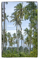 (Stan de Haas Photography) Tags: palms palm coconuts island hot