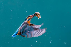 Out of the blue ... two! (andy_harris62) Tags: kingfisher diving two fish action bird watcher