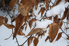 Beech Leaves On Saddleback Mountain (walter_g) Tags: sonya6000 minoltamd3570mmf35macro rawtherapee gimp295 nikcolorefexpro