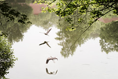 Reflections and Such (Chancy Rendezvous) Tags: pond reflections ripples trees greenhill park worcester massachusetts wing bird flying heron water lake reflection nikon nikkor d500 chancyrendezvous