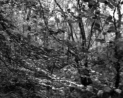 Leaves (Hyons Wood) (Jonathan Carr) Tags: black white bw monochrome largeformat 4x5 5x4 toyo45a hp5 rural northeast ancientwoodland landscape abstract