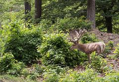 Edelhert / Servus elaphus (m.ritmeester) Tags: veluwe edelhert ngc naturelovers natuur nederland bruin gelderland groen hoenderloo holland hoge