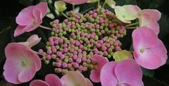A precious gift (langkawi) Tags: pink rosa hydrangea flower hortensie tellerhortensie closeup macro wonder