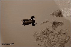 raddoppio (imma.brunetti) Tags: uccelli fiume acqua vegetazione mugnone toscana firenze piume becco zampe ali alghe natura