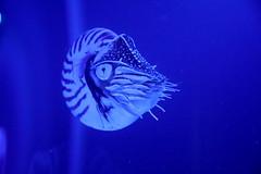 fearsome_nautilus_tx_state_aquarium_5Div22085 (cold_penguin1952) Tags: nautilus texasstateaquarium