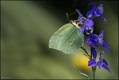 Gonepteryx Cleopatra (antoniocamero21) Tags: insecto mariposa color foto sony cleopatra gonepteryx flor composición alas antenas mimetismo