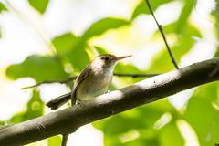 Long-biled Gnatwren (J. E. Foster) Tags: caribbean hobaltrace longbilledgnatwren nikond7100 ramphocaenusmelanurus sigma150600mmf563dgoshsm stjoseph trinidadandtobago animal bird nature wildlife