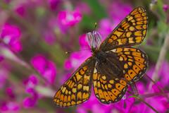 Euphydryas aurinia (11) (JoseDelgar) Tags: insecto mariposa euphydryasaurinia 425862818729229 josedelgar alittlebeauty coth ngc fantasticnature npc coth5 sunrays5