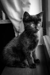 kitten (Chilanga Cement) Tags: cat kitty kitten whiskers bw blackandwhite monochrome window ear ears feline hellokitty paws paw