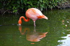 Caribbean Flamingo (Phoenicopterus ruber) (Seventh Heaven Photography) Tags: caribbean flamingo american phoenicopterus ruber phoenicopterusruber pink plumage feathers nikond3200 bird flamingos