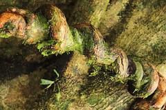 Naturaleza enroscada (Gaby Fil Φ) Tags: selva jungle jungla amazonasperuano amazonia amazonas bosques rainforest naturaleza nature iquitos reservapacayasamiriaperú selvaperuana selvaamazónicaperuana árboles raíces perú sudamérica