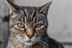 George (alex.urrutia.photography) Tags: macro closeup canon 50mm feline gato whiskers eyes