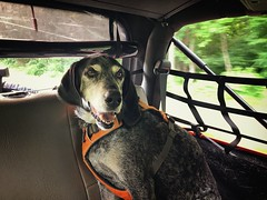 24/52 a pretty good day (huckleberryblue) Tags: gracie bluetickcoonhound hound dog summer jeep 52weeksfordogs week24