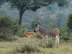 Burchell's Zebra and Impala (donmcvee) Tags: burchellszebra