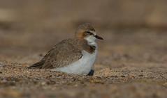 red-capped plover (Charadrius ruficapillus)-5334 (rawshorty) Tags: rawshorty birds australia nsw portmacquarie
