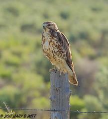 Swainson's Hawk (orencobirder) Tags: birds flickrexport largebirds speciesid hawks