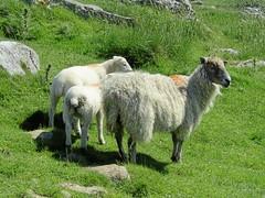 Gordale & Malham 17.6.2017 (11) (bebopalieuday) Tags: yorkshiredales malhamdale malhamcove sheep ewe lambs northyorkshire