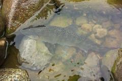 Yamame DSC_3585 (touhenboku) Tags: stream river yamame torout fly fishing flyfishing rain