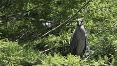 _DSC7422 (JasonM375) Tags: green cay wetland florida boynton beach wildlife great blue heron bird