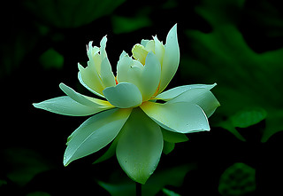 DSC_0005 Lotus