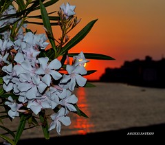 Sunset passion (Arcieri Saverio) Tags: rosso red rouge flower sun sunset tramonto italia diamante cs cosenza traveling travel calabria still life nikon nikkor 55300 controluce luce lux altotirrenocosentino light nature sky rosa fiori mare sole blanche bianco