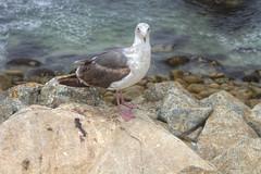 IMG_0256_258 Seagull HDR (vicjuan) Tags: 20170625 美國 usa 加州 california montereycounty hdr tonemapping pebblebeach geotagged geo:lat=36591824 geo:lon=121964290 海 sea 太平洋 pacificocean 鳥 bird 海鷗 seagull