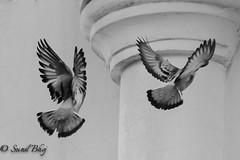 Duo (Sunil - Bhoj) Tags: tamron70300 nikond700 birds blackandwhite monochrome duo pigeons