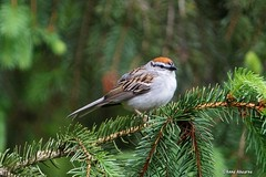 Chipping Sparrow (Anne Ahearne) Tags: cute birds bird nature wildlife animal chipping sparrow spuce evergreen tree