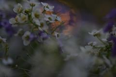 Allysum (mckernanmargaret) Tags: evening alyssum purple white cream sunset