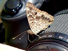 Use This Setting (WRFred) Tags: butterfly nature wildlife insect maryland montgomerycounty sterlingquad