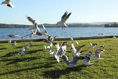 gulls (night_owl_designs) Tags: warnersbay lakemacquarie seagulls birds