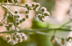 a weedy bokeh (Dotsy McCurly) Tags: thistle weed nature beautiful bubbly bokeh nikond750 300mm photoshop topaz hss happysliderssunday