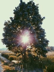 Brightness. (thnewblack) Tags: lg g6 android smartphone outdoors cameraphone nature sunflare tree britishcolumbia summer adventure explore inexplore 13mp vsco
