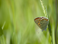 Hôte des prairies **--- ° (Titole) Tags: titole nicolefaton papillon butterfly green thechallengefactory