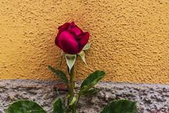 BOCCIOLO DI ROSA ROSSA.   ----    ROSE BUD (cune1) Tags: italia italy lazio canalemonterano fiori flowers bocciolo buds natura nature colori colors verde green rosso red macro