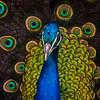 Peacock (stevehimages) Tags: steve higgins stevehimages steveh nannerth farm wowzers warden wales bird 2017 grandpas grandpasden