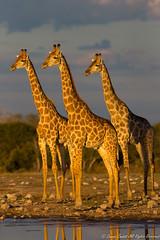 Giraffes-0457 (Giraffa camelopardalis) (dennis.zaebst) Tags: africa namibia etosha giraffe animal wild outdoor naturethroughthelens ngc