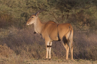 Eland in morning light