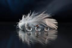 12 (Copier) (papaalino) Tags: dandelion pissenlit pollen nature proxy blue white