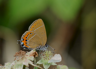 Black Hairstreak DSC_0999