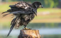 Juvenile Bald eagle (pasquadaniel) Tags: eagles birdsofprey raptors perched wet talons beak animals birds mammals young