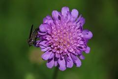 Fly on Wild Flower (Hugo von Schreck) Tags: hugovonschreck fly fliege wildblume wildflower macro makro insect insekt canoneos5dsr tamron28300mmf3563divcpzda010 onlythebestofnature macroflowerlovers