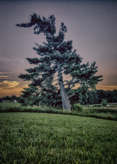 Thinking of Louis (L'Amour that is) (KWPashuk) Tags: samsung galaxy note5 lightroom nikcollection kwpashuk kevinpashuk tree pine lone ranch field sunset farm outdoors nature oakville ontario canada