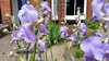 x20170531_110328 - irises (flags) (Lovelli) Tags: roper road flowers roses californian poppies fire hydrant sign fushias labour supporter
