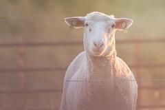 Sheep stare-down (Melinda G Pix) Tags: sheep animal ewe farm rural