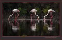 Tres flamencs 26 (Phoenicopterus roseus) Three flamingos 26 (El racó de l'Olla, València, l'Horta, Spain (Rafel Ferrandis) Tags: flamencs racóolla reflexos au albufera eos7dmkii sigma150600contemporary