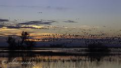 """""""Sunset flyout"""" (tahitihut) Tags: snowgeese landscape sunset csylviasanchez wildlife refuge"""