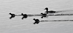 Turbo Powered Tufted Duck Ducklings - Druridge (Gilli8888) Tags: nature northumberland druridge druridgeponds wetlands nikon p900 coolpix birds water waterbirds duck tuftedduck ducklings tuftedduckducklings blackandwhite five